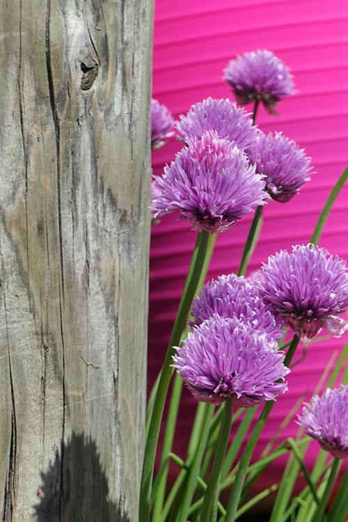 chives-pink